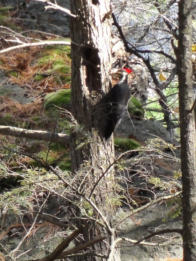White Billed Pileated Woodpecker