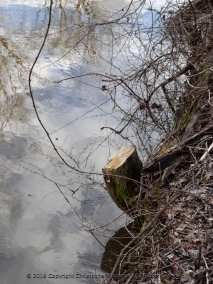 Tree Stumps on the Canal Path-005