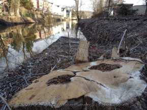 Tree Stumps on the Canal Path-023