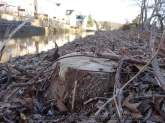Tree Stumps on the Canal Path-030