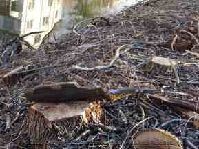 Tree Stumps on the Canal Path-037