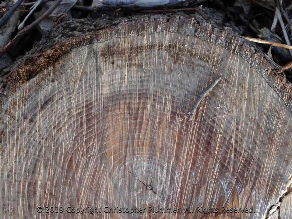 Tree Stump displaying 33 Rings